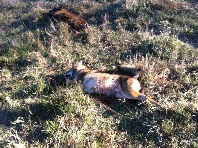 Calf Killer