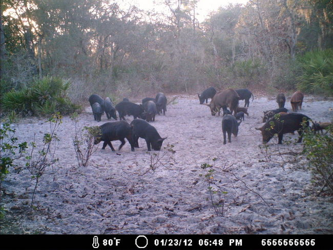 hog problem Welcome to deep south trapping if hogs are a problem for you contact us at 214-934-2646 or via email: steven@deepsouthtrappingcom today.