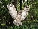 Bard_owl.JPG